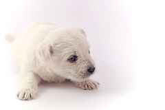 Weinig puppy over wit Royalty-vrije Stock Fotografie