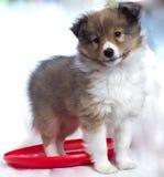 Weinig puppy Sheltie Royalty-vrije Stock Fotografie