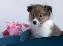 Weinig puppy Sheltie in een giftdoos Royalty-vrije Stock Afbeeldingen