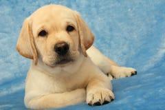 Weinig puppy van Labrador Royalty-vrije Stock Afbeelding