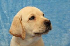 Weinig puppy van Labrador Royalty-vrije Stock Afbeeldingen