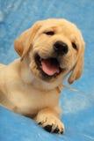 Weinig puppy van Labrador Stock Foto