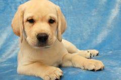 Weinig puppy van Labrador Stock Fotografie