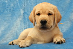 Weinig puppy van Labrador Stock Foto's