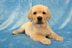 Weinig puppy van Labrador Stock Afbeelding