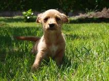 Weinig puppy van podenco Stock Afbeeldingen