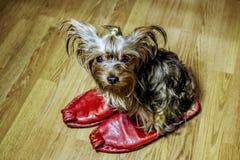 Weinig puppy Yorkshire Terrier zit op de tennisschoenen Stock Foto