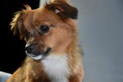 Weinig puppyhond met grote verbaasde ogen Royalty-vrije Stock Afbeeldingen