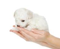 Weinig puppyzitting op de palm van een vrouw. Stock Foto