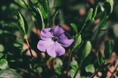 Weinig purpere bloem stock foto's
