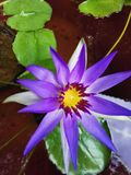 Weinig purpere lotusbloem stock foto's