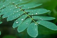 Weinig regen daalt aanraking-me-niet of shameplant-Indore, India Royalty-vrije Stock Fotografie