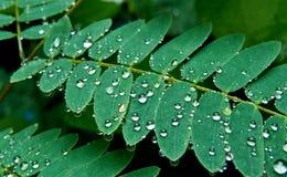 Weinig regen daalt aanraking-me-niet of shameplant-Indore, India Stock Fotografie