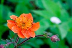 Weinig rode bloem Royalty-vrije Stock Afbeelding
