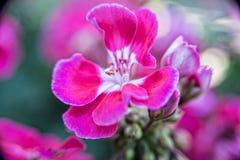 Weinig rode bloem groeit op een struik in het midden van de tuin Royalty-vrije Stock Foto