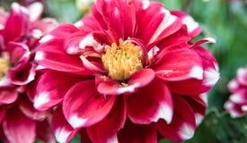 Weinig rode bloem groeit op een struik in het midden van de tuin Stock Afbeeldingen