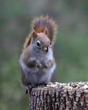 Weinig rode eekhoorn Royalty-vrije Stock Foto's