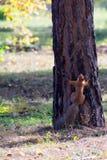Weinig rode eekhoorn beklimt op boomstam van pijnboomboom Royalty-vrije Stock Afbeeldingen