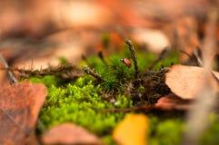 Weinig rode kever die op het mos kruipen royalty-vrije stock afbeelding