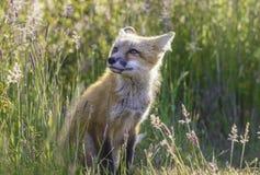 Weinig rode vos Stock Afbeeldingen