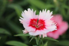 Weinig roze bloem met rode centrummacro Stock Afbeelding
