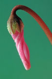 Weinig roze ding Stock Foto's