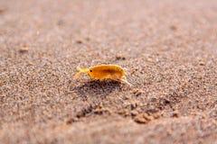 Weinig sandhopper Talitridae/Amphipod op een zand van de kust van Oregon royalty-vrije stock foto