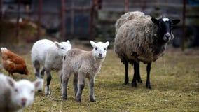 Weinig schapen het weiden stock video