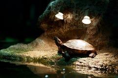 Weinig schildpad die zonnebaadt hebben Stock Afbeeldingen