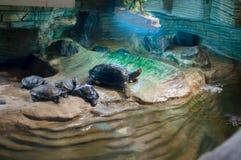 Weinig schildpad die zonnebaadt hebben royalty-vrije stock afbeelding