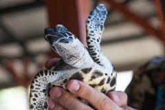 Weinig schildpad in handen Royalty-vrije Stock Afbeeldingen