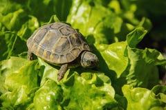 Weinig schildpad op groene bladeren stock afbeeldingen