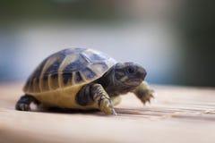 Weinig schildpadgang vooruit Stock Fotografie