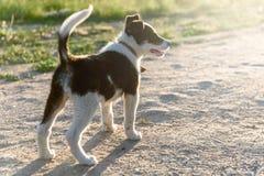 Weinig schor Puppy die rond in aard lopen royalty-vrije stock foto's