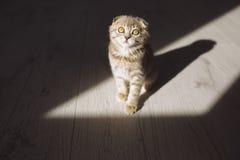 Weinig Schotse kattenzitting in de donkere ruimte Royalty-vrije Stock Fotografie