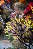Weinig seahorse in oceanarium van Barcelona Stock Afbeelding
