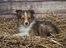 Weinig Sheltie-puppy Stock Fotografie