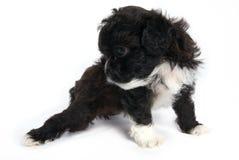 Weinig Shihtzu puppy leuke hond in geïsoleerd royalty-vrije stock foto