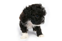 Weinig Shihtzu puppy leuke hond in geïsoleerde royalty-vrije stock afbeeldingen