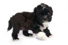 Weinig Shihtzu puppy leuke hond in geïsoleerdr stock foto