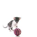weinig Siamese katje Stock Foto