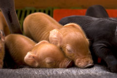 weinig slaap van het babyvarken Royalty-vrije Stock Foto