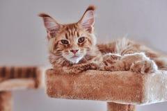 Weinig slaperig de wasbeerkatje van Maine ligt op het meubilair van de speciale kat stock fotografie