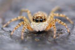 Weinig Spaanse het springen spin  stock fotografie
