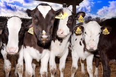 Weinig stier calfs Royalty-vrije Stock Foto's