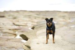 Weinig strandhond stock foto's