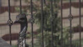 Weinig struisvogel van struisvogellandbouwbedrijf Weinig struisvogel bij het struisvogellandbouwbedrijf in de zomer stock footage