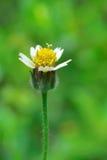 Weinig stuifmeel weinig bloem Royalty-vrije Stock Foto