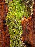 Weinig stuk van mos in een boom Stock Afbeeldingen