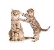 Weinig tabby katje wat betreft moederkat Royalty-vrije Stock Afbeelding